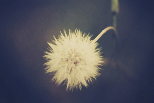 Dandelion by Lapin Lune Photography
