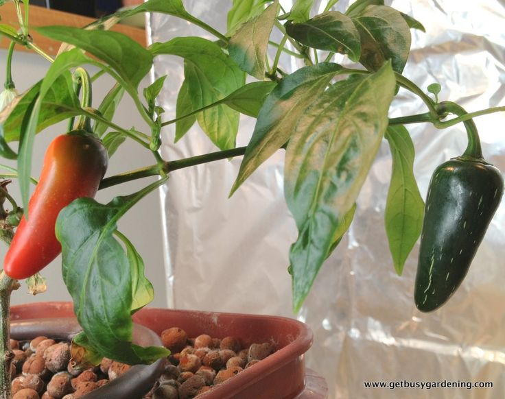 Growing vegetables hydroponically. We harvested fresh peppers in February - in Minnesota!