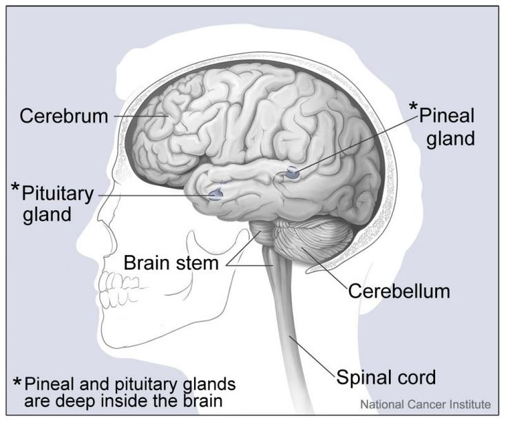 Drawing of pituitary gland within the brain   Pineal gland ...