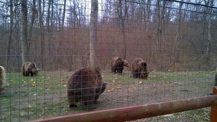 Bear Sanctuary in Zarnesti, Transylvania