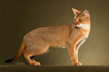 Chausie - result of breeding the wild Jungle Cat with domestic breeds