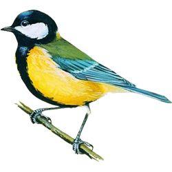Синица — птица. Описание синицы с картинками