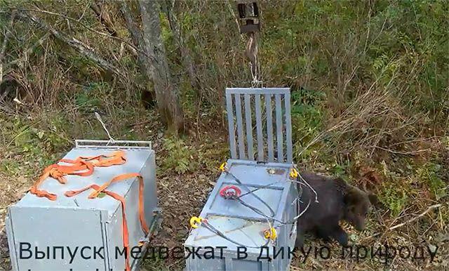 Выпуск медведей в дикую природу - Мое Настроение - социальная сеть для тех кому хорошо
