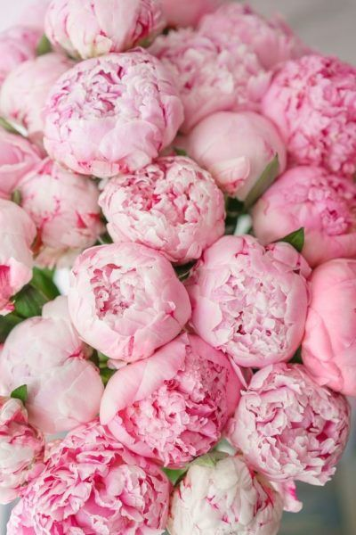 Stunning pink bouquet of peonies Peonies And Hydrangeas, Peonies Garden, Peonies Bouquet, Pink Peonies, Pink Bouquet, Flower Bouquets, Pink Flowers, Beautiful Flowers, Hippie Flowers