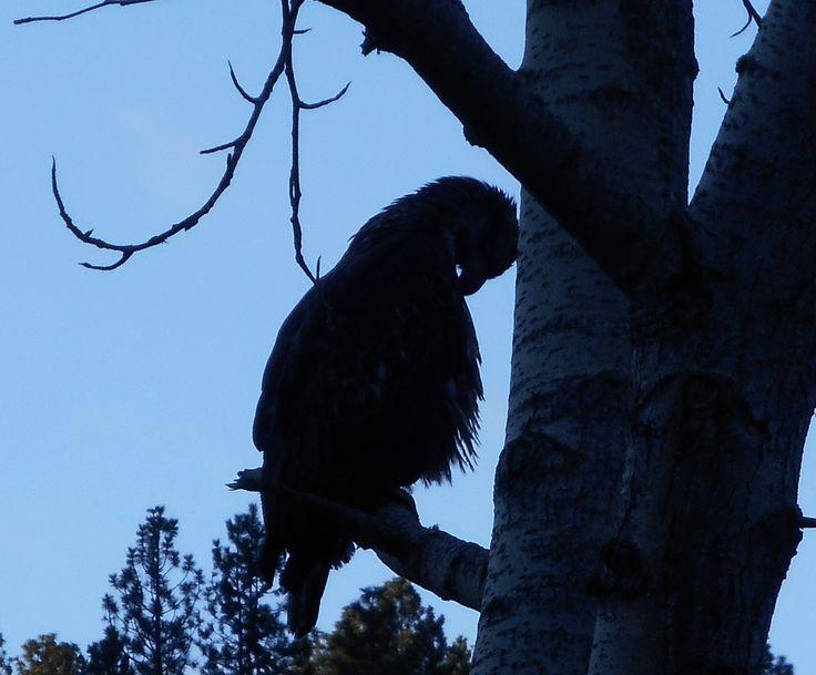 https://flic.kr/p/Dbn6Tb | Preening immature Bald Eagle