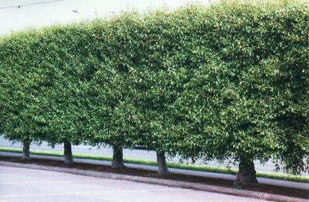 Evergreen alder alnus jorullensis toorak gum tree for Small sized evergreen trees