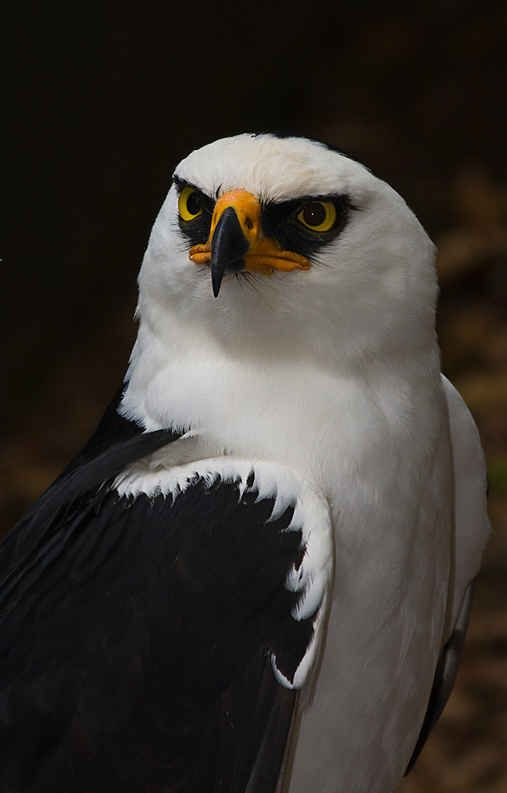 Black and white Hawk Eagle  * * ' HUMANS ARE NOT ON MY LIST OF FRIENDS. THEY'RE A VIOLENT CULTURE AND 98% THOUGHTLESS OR GREEDY.""