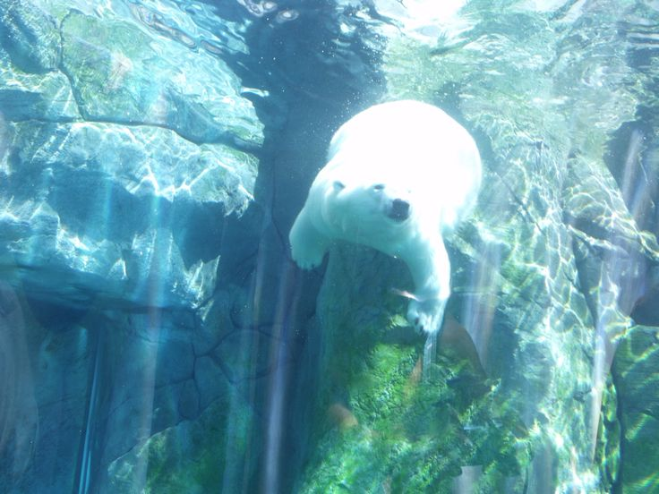 Female polar bears catching fish in the water. I took this photo on Sept 3, 2014
