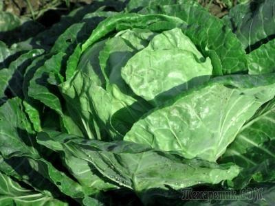 Подкормка капусты. Удобрения для капусты