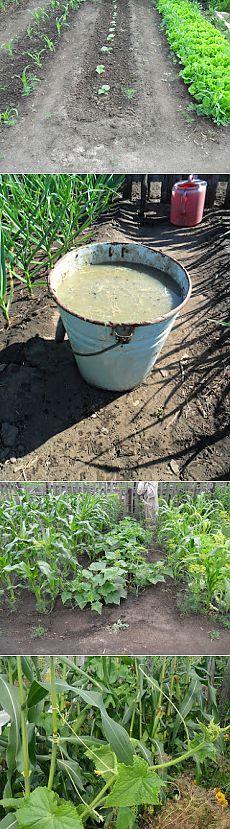 Вкусный Огород: Как вырастить огурцы в открытом грунте