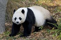 I walked all the way from Georgetown University to see the Panda's at the National Zoo - it made me very happy and I stayed for about an hour... I then walked the entire way to the Capitol via the White House and then walked to Arlington - it was a long day...