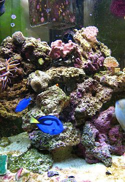 My husband's hobby - saltwater aquariums