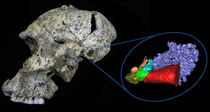 Ancient hominid ears were tuned to high frequencies.  Scientists generated a 3-D virtual reconstruction of the ear anatomy for this Paranthropus robustus skull and for two other ancient South African hominids. New findings suggest these hominids could hear high-frequency sounds needed to discern certain consonants. ~~ Rolf Quam