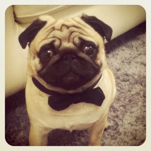 Tuxedo pug is ready to dance!