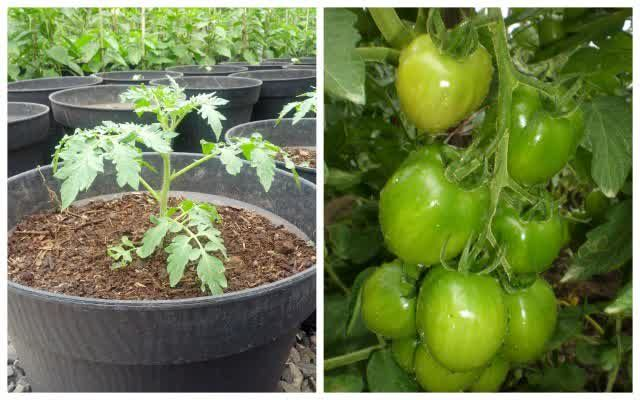 Tips To Grow Tomatoes in Pots or Polybags Be Easily. http://goo.gl/8jLs7u
