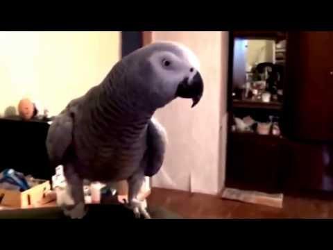 Попугай жако красиво поёт и разговаривает!!!! - YouTube
