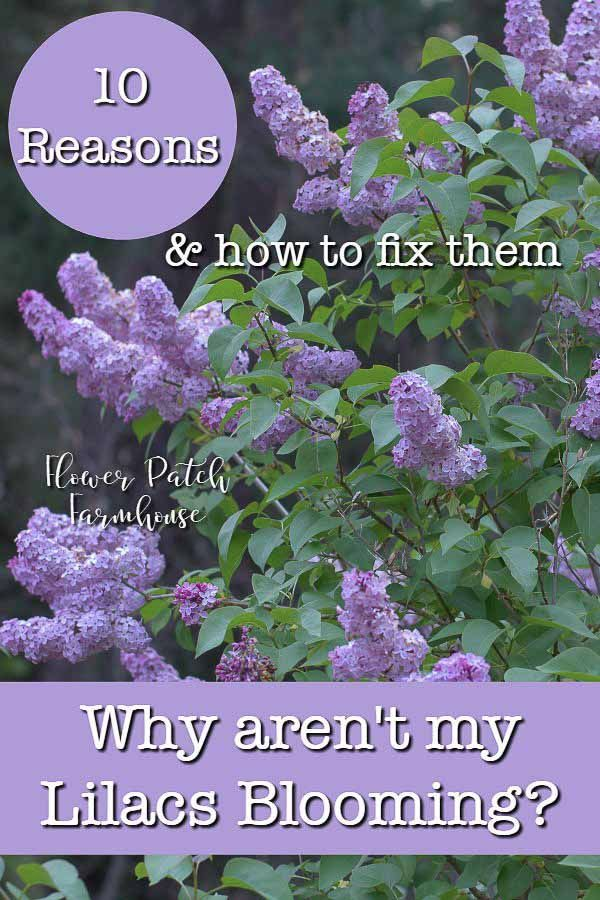 Lilac Not Blooming Fix It In 2020 Lilac Plant Lilac Bushes Lilac Tree