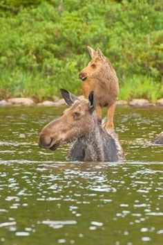 Baby moose hitching a ride across the river on mom's back. Awww!