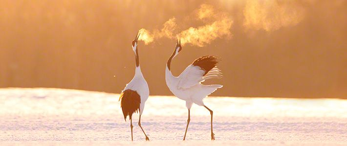 Red-crowned cranes are a traditional symbol of good fortune in Japan. Conservation efforts have brought regional population back from the brink of collapse and there is now a flourishing crane population in Hokkaidō. These photographs show the cranes' graceful forms through the year, including the bitter cold of a northern winter.