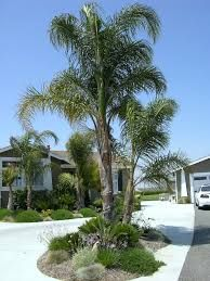 queen palm tree landscaping ideas - Google Search