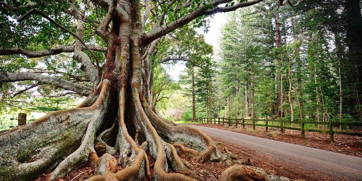 Tree on Norfolk Island, Australia