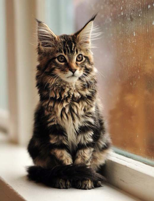 1000+ images about maine coon, norwegian forest cat ...