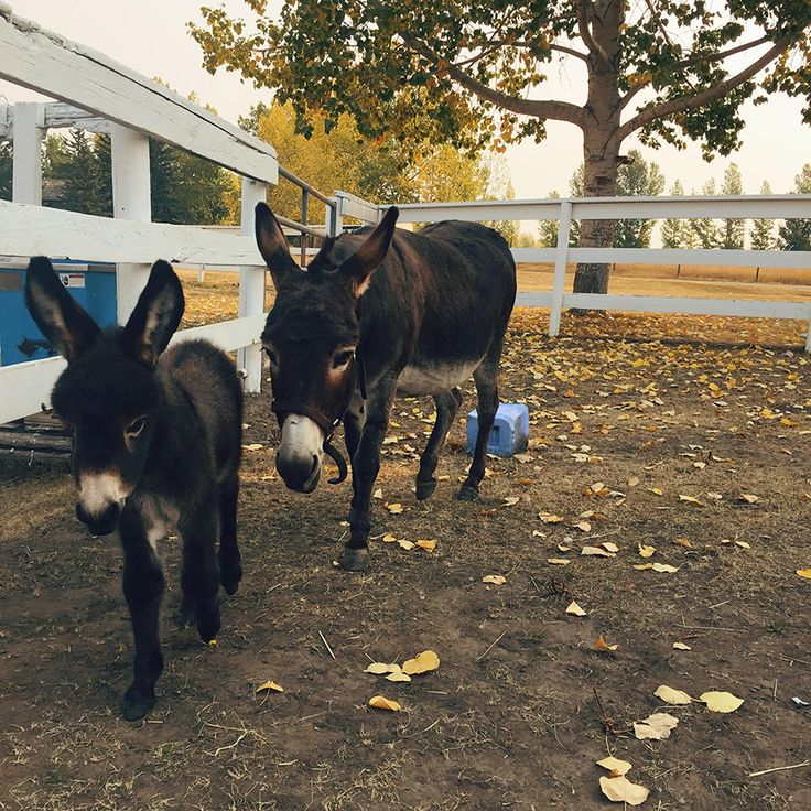 Waiting for a miniature donkey to foal is like waiting for Christmas when you're a kid in the throes of questioning if Santa is real