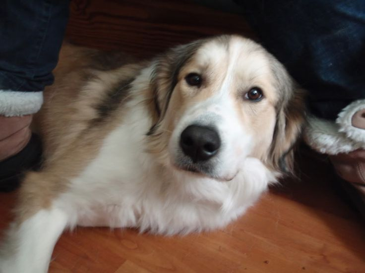 st. bernard/lab/collie mix, a bigger dog with less health problems ...