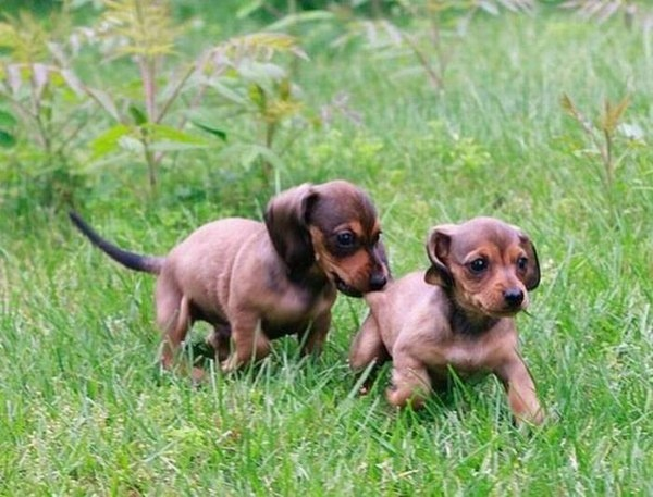 Cool Weiner Chubby Adorable Dog - d7677bb7e1615f8c997a667140ef7f37--dachshund-puppies-weiner-dogs  Image_249943  .jpg