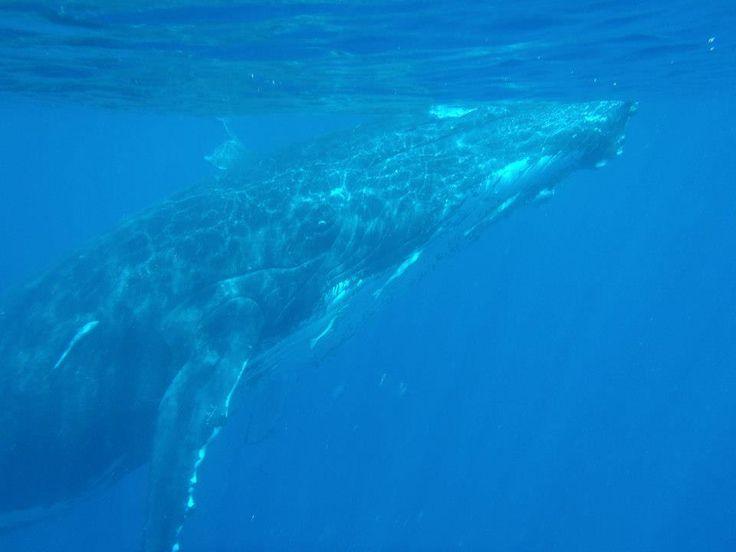 Keporkak whale