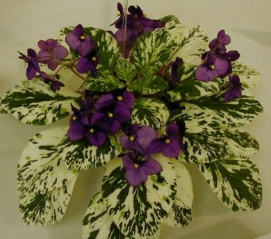 Happy Harold - The Violet Barn - African Violets and More