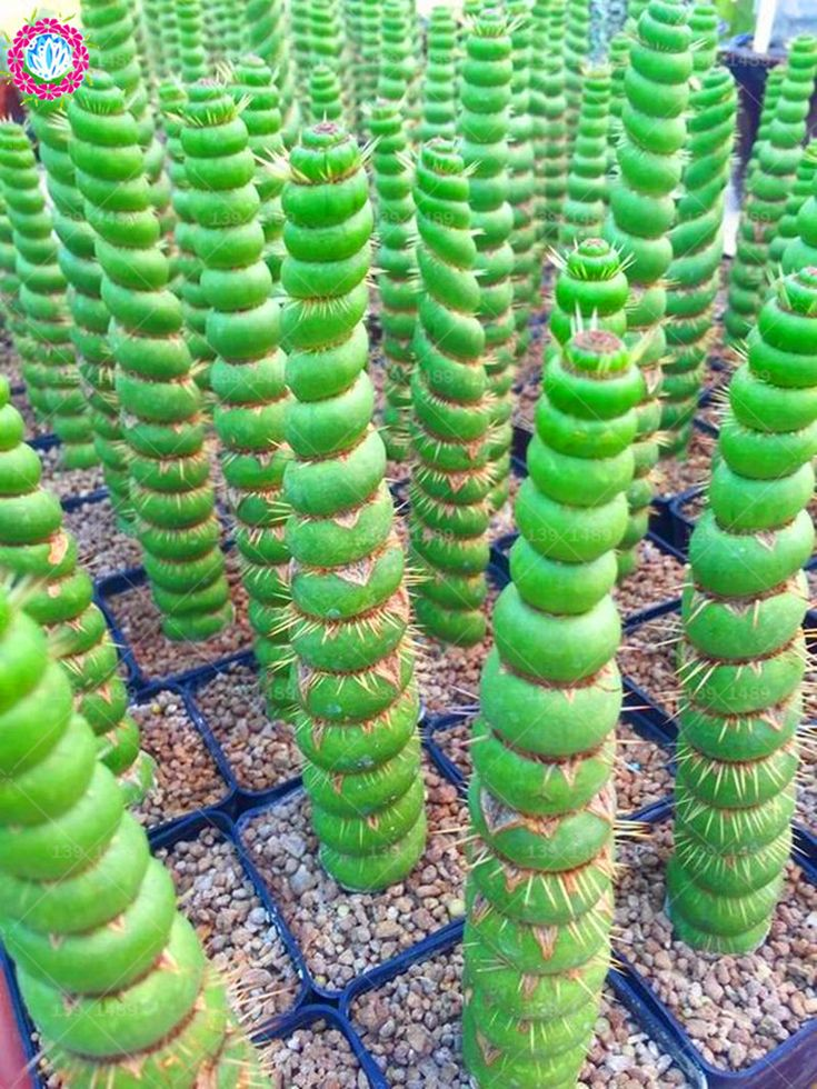 100pcs Rare Cactus Seeds Real Succulent Seeds Green Spiral
