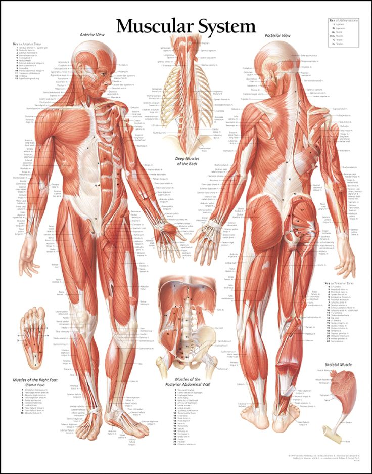 83 best muscle of the body images on pinterest | massage therapy, Muscles