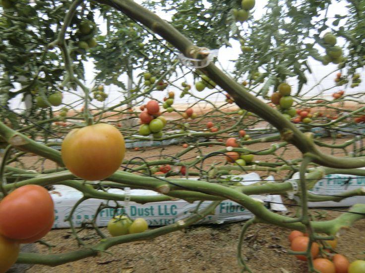 Zeleninová zahrada Evropy v jihošpanělském regionu Andalusie by mohla být první obětí klimatického kolapsu. V mírném středomořském podnebí v provincii Almería po celý rok rostou okurky, papriky a rajčata, které zaplňují regály evropských supermarketů. Velká horka se pomalu, ale jistě postarala o to, že zemědělci již brzy vyčerpají všechnu vodu. Již delší dobu totiž oblast