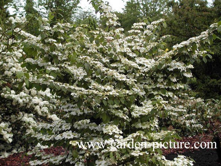 Image result for Viburnum plicatum 'Rowallane'