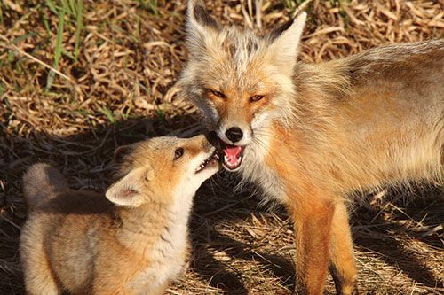 Interesting Red Fox Facts at American Expedition