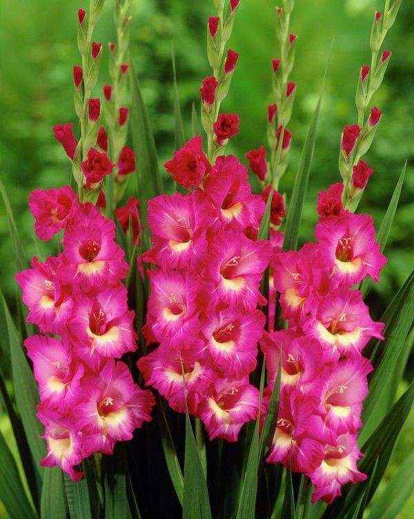 Flowers Meaning Gladiolus Of Pink Flowers Flowers Gladiolus Meaning Pink In 2020 Gladiolus Pink Flowers Flowers
