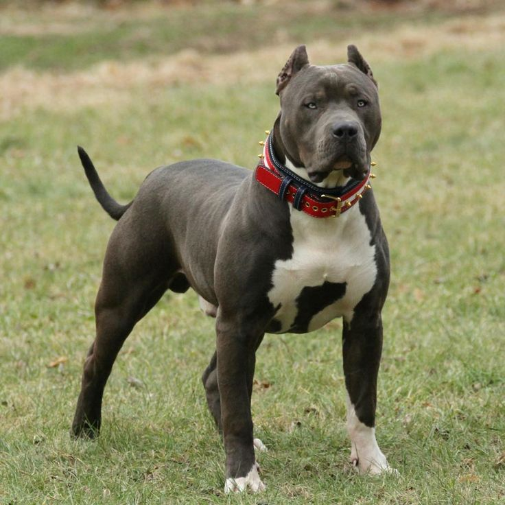 7 982 Likes 56 Comments American Bully Americanbully On Instagram One Of My Favourite Kennel Mvp Bullies Pitbull Terrier Bully Breeds Dogs Dogs