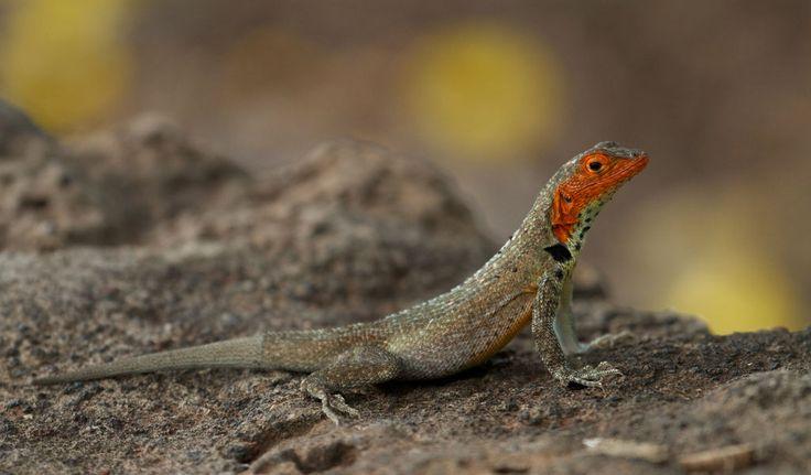 Galapagos Lava Lizard - Facts, Information & Habitat