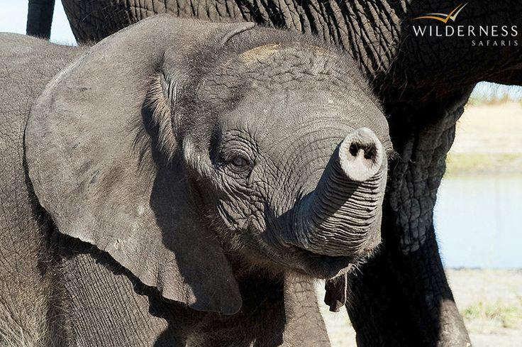 Seba Camp - The large elephant population aside, a seasonal abundance of game graces the area: giraffe, zebra, impala, wildebeest, tessebe and lechwe. #Safari #Africa #Botswana #WildernessSafaris