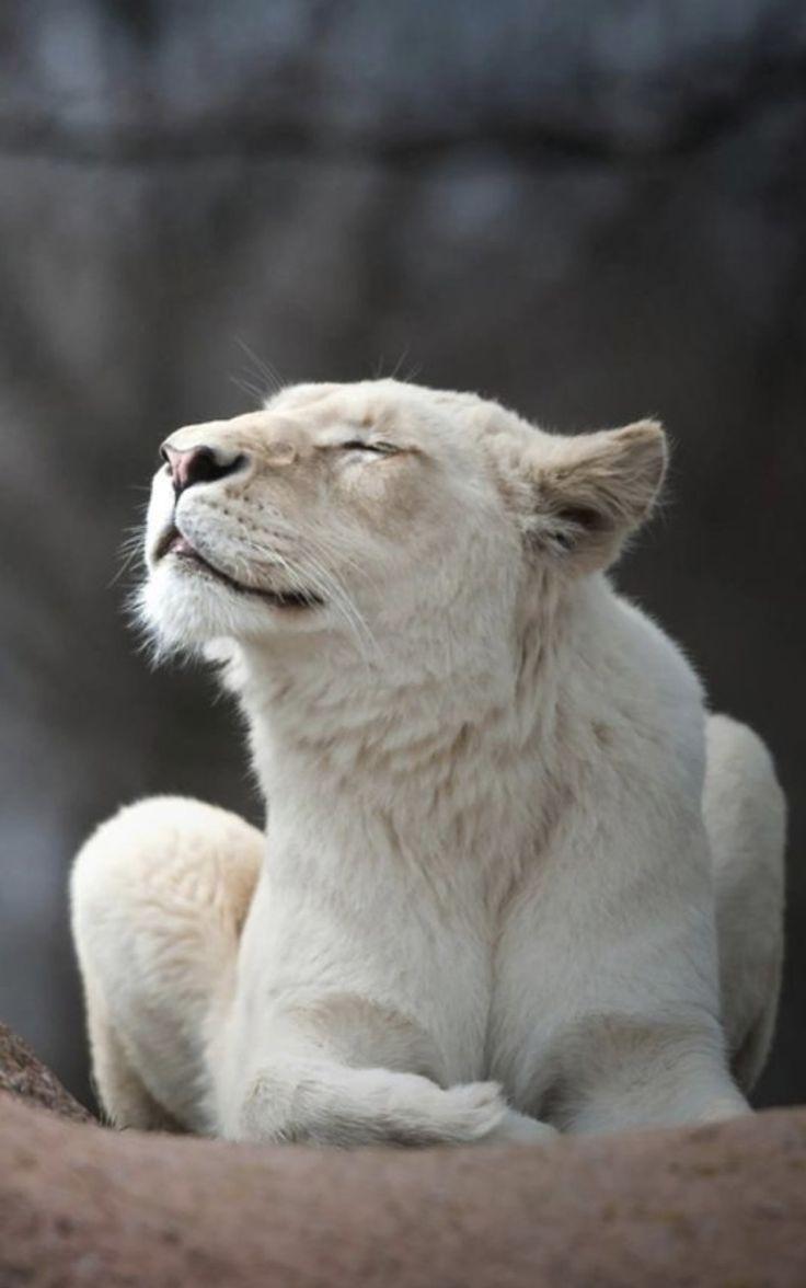 картинки львица ждет