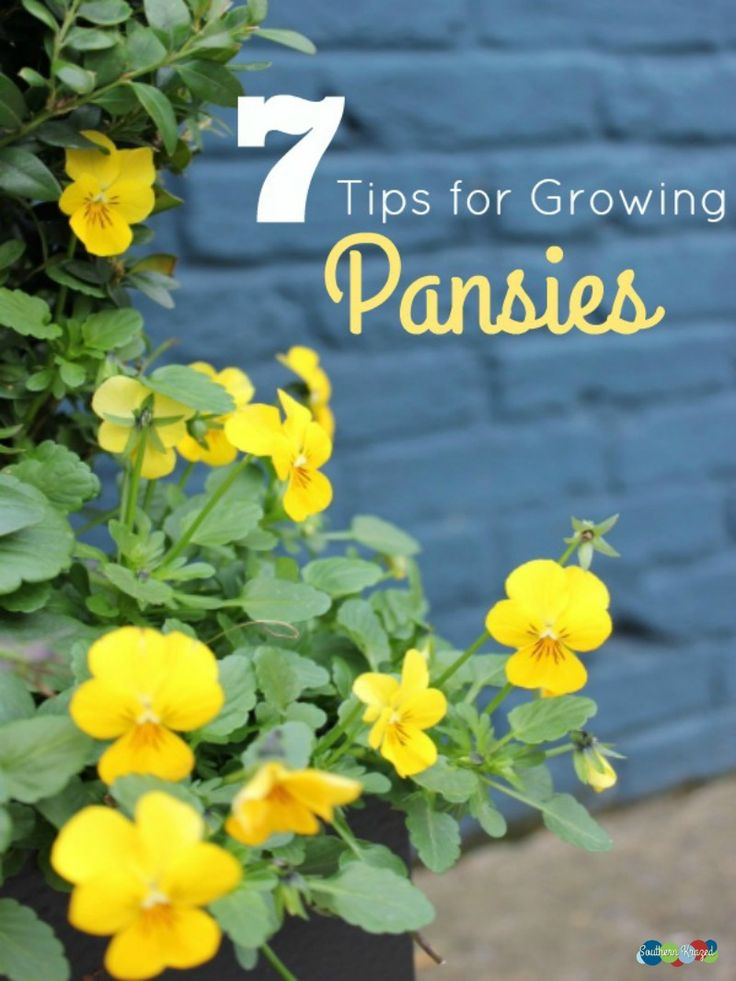 7 Tips for Growing Pansys 1. Start for seedlings 2. Use nutrient rich soils 3. Don't fear cool weather 4. Harden them off 5. Dead head the pansies for best results 6. Fight of pests 7. Mulch away