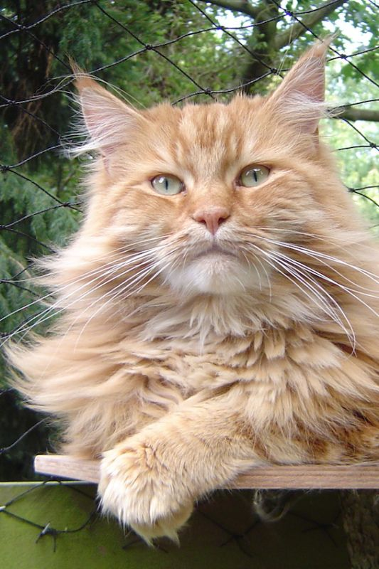 #MaineCoon #Red #Tabby #Blotched #ClassicTabby #Cats  Maine Street Oscar