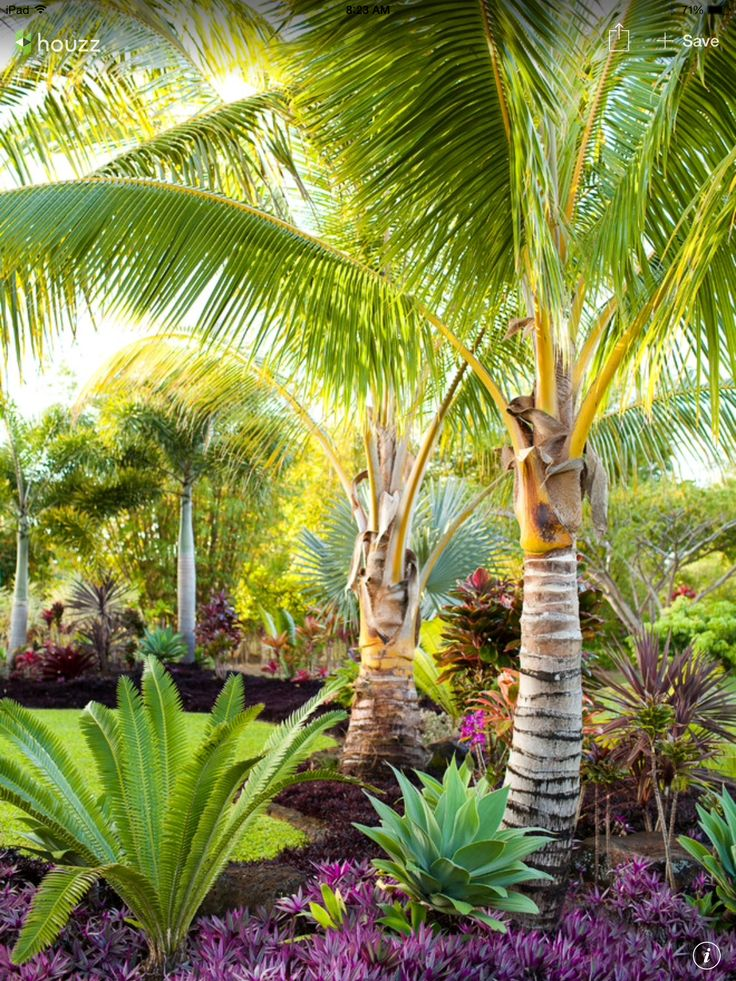 The perfect tropical combination: Dioon Majiae, Agave Attenuata, Coconut palm, Cordyline, Hemigraphis, Australis, Foxtail Palm, Bismarck Palm, Cordyline Fruticosa, & Tradescantia Spathacea