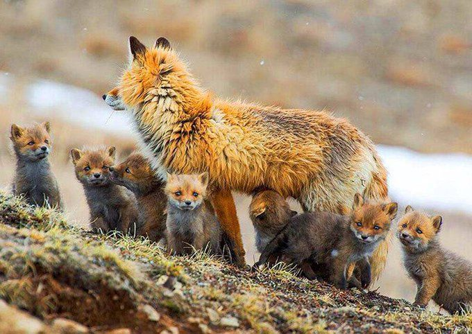Baby foxes and mom..