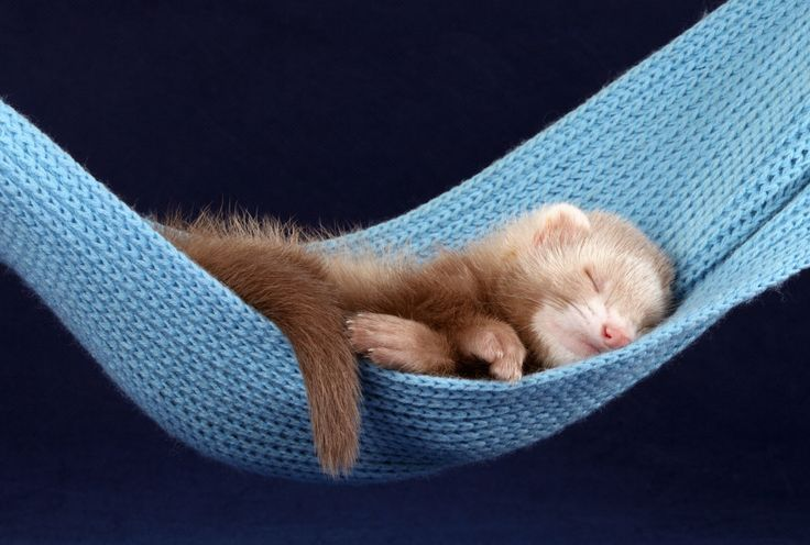 Ferret >< PETS YOU NEVER KNEW YOU COULD HAVE IN YOUR HOME <> Ferrets are small, furry mammals that are a lot like cats and dogs. Ferret care requires a lot of time and commitment—they need four hours of activity out of their cage every day. Adyafoto/iStock