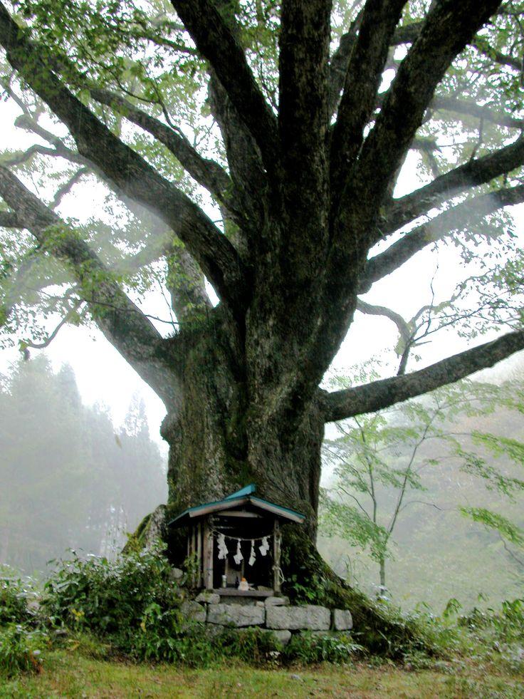 国指定ミズナラの巨樹 長野県下伊那郡阿智村清内路