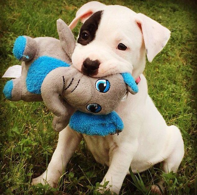 3892 Best Pitbulls Images On Pinterest Dogs Pitbull Terrier And Pet Adoption