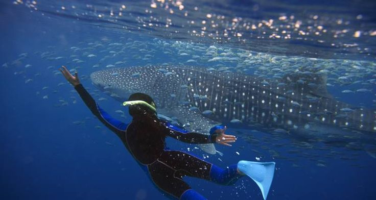 Swimming with Whale Sharks!