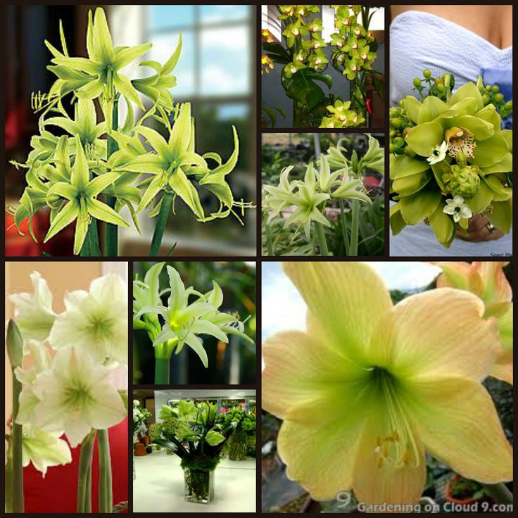 #Green #Amaryllis #Wedding #Flowers #Florists #Floral #Spring #Blossom #Buds #Seeds #Garden #Gardening #Bouquets #Botanic #Gardens #Nature -- Click to see full size image at http://partymotif.com
